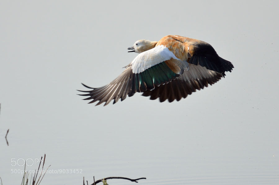 Photograph Ruddy Shelduck in flight by S Amit on 500px