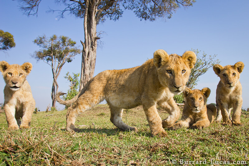Photograph Four Lion Cubs by Will Burrard-Lucas on 500px