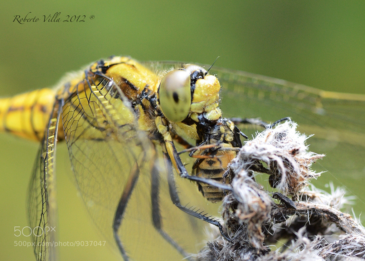 Photograph Dragonfly breakfast by Roby Villa on 500px