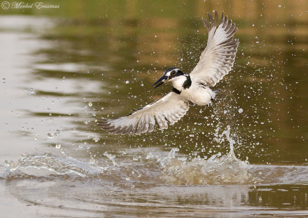 Photograph Pied Kingfisher Catch by Morkel Erasmus on 500px