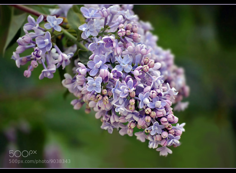 Photograph Tenderness of lilac... by Ирина Ганичева on 500px