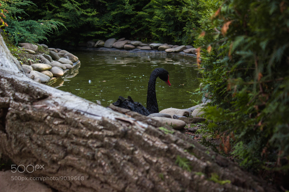 Photograph Black swan by Віктор Нікітін on 500px