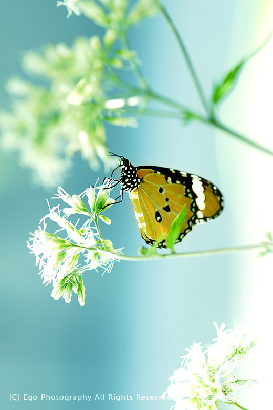 Photograph Butterfly by Ko Ego on 500px
