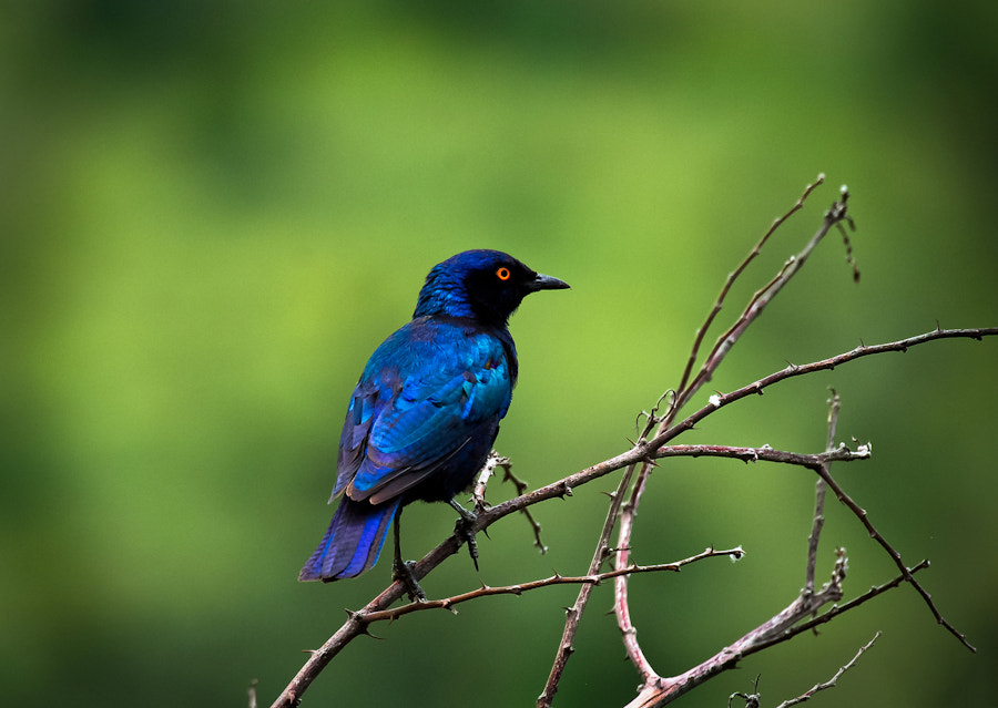 Photograph cape glossy starling by Sheree Richter on 500px