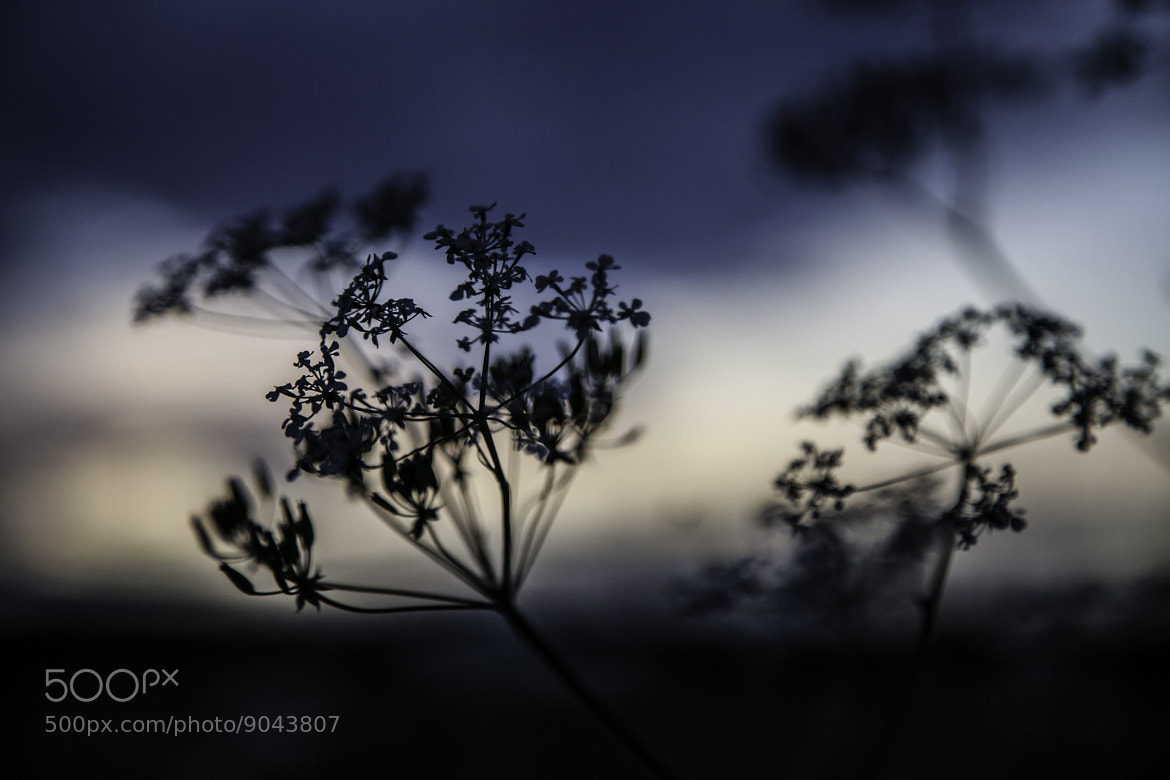 Photograph Cow parsley by Kalle Luotola on 500px