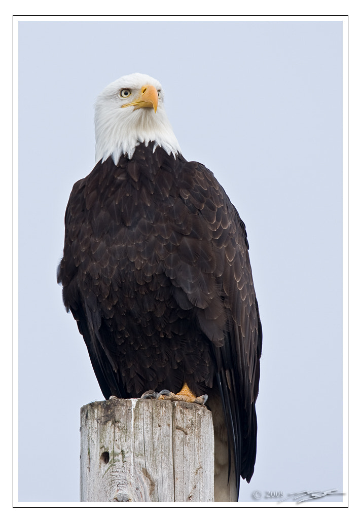 Photograph Skagit Valley Bald Eagle by Jay Taylor on 500px