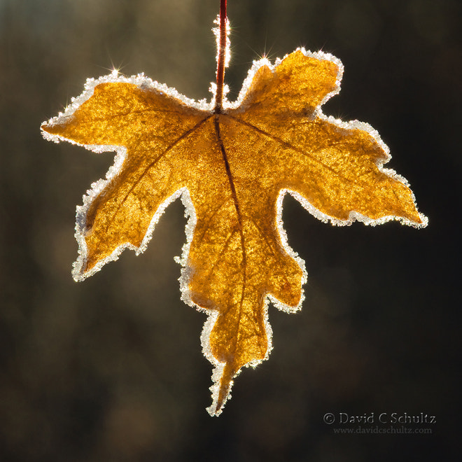 Photograph Frost Rimmed Leaf by David C. Schultz on 500px