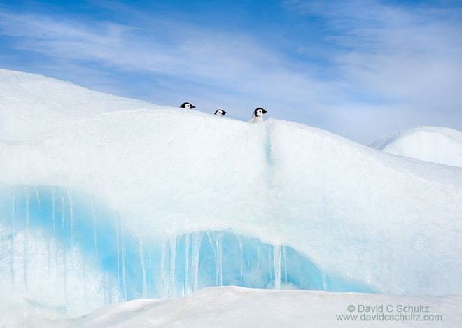 Photograph Emperor Penguin Chicks by David C. Schultz on 500px