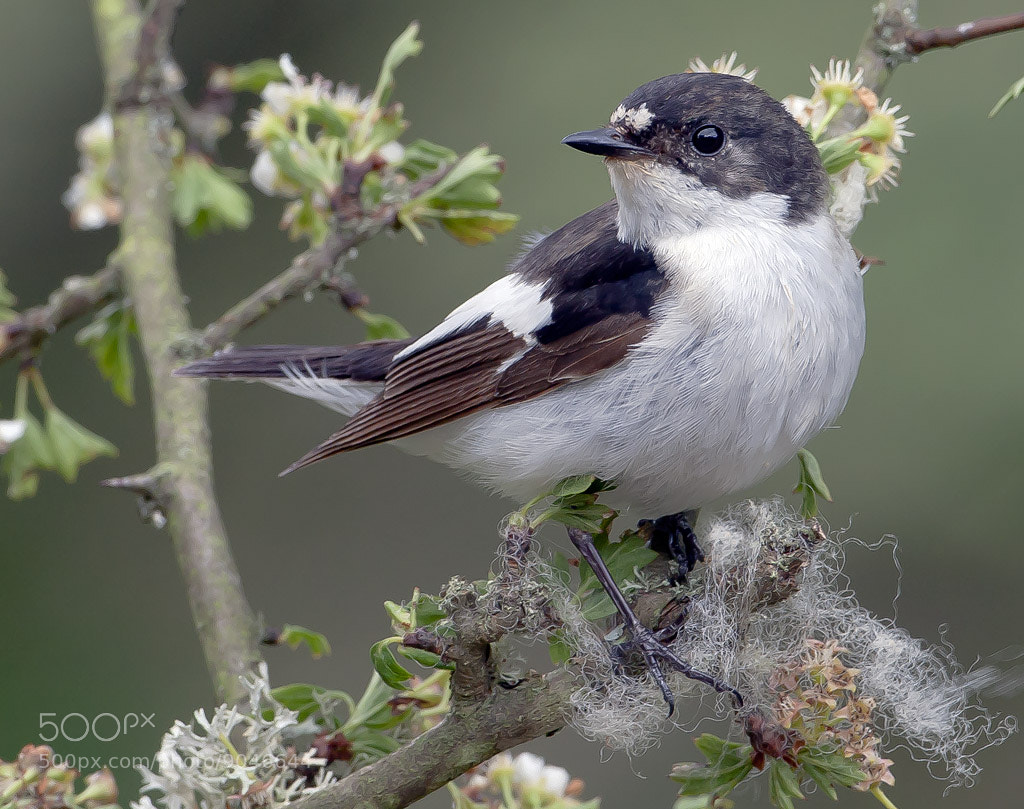 Photograph pied flycatcher by TomMelton on 500px
