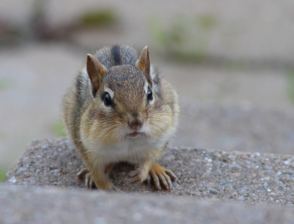 Photograph startled chipmunk  by H Singh on 500px