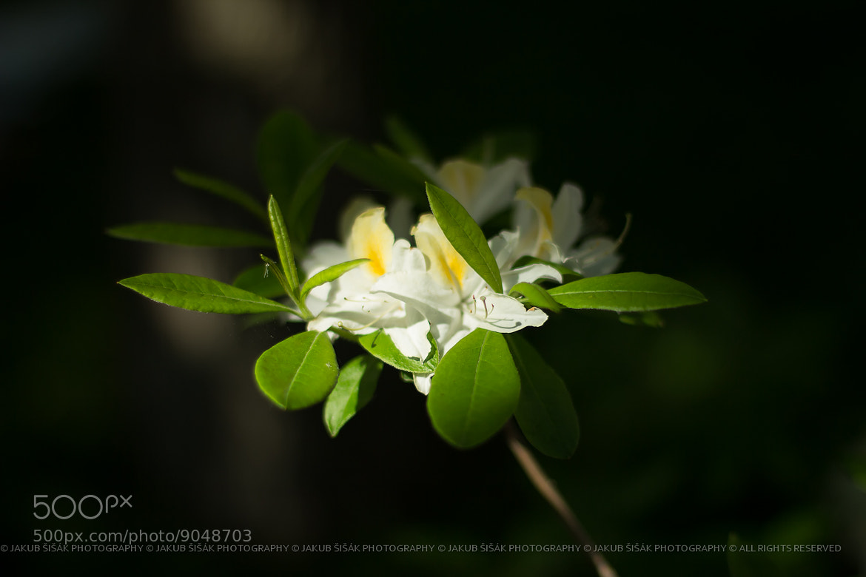 Photograph Blossoming by Jakub Šišák on 500px