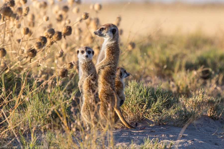 Meerkats or Suricates