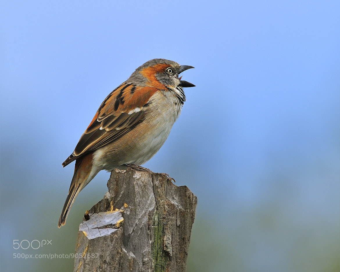 Photograph Rufous Sparrow by Tony Beck on 500px