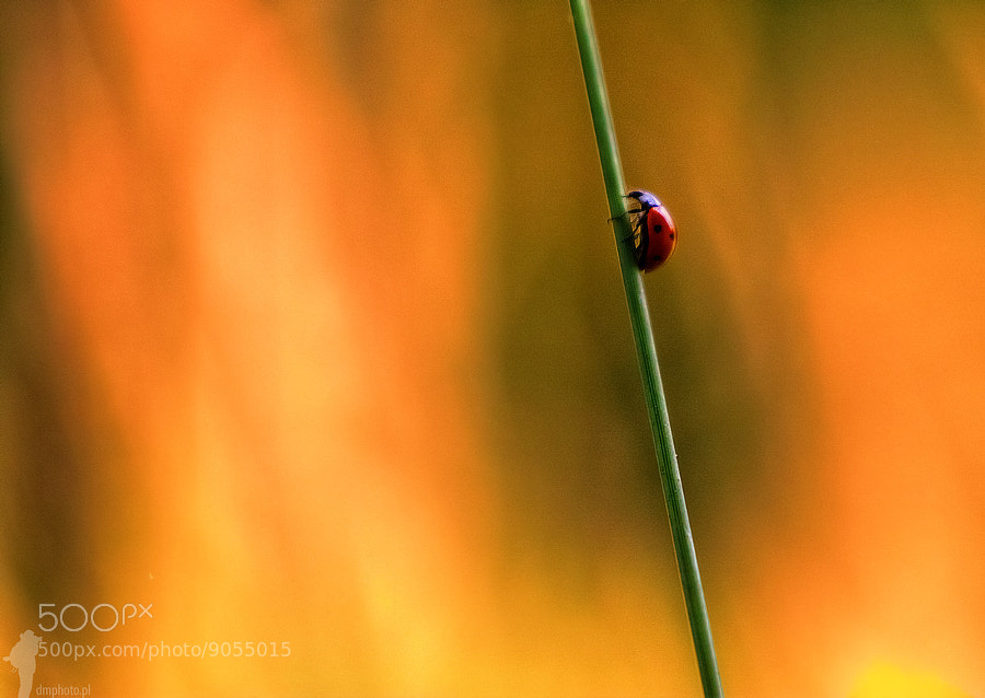 Photograph Ladybird by Dawid Martynowski on 500px