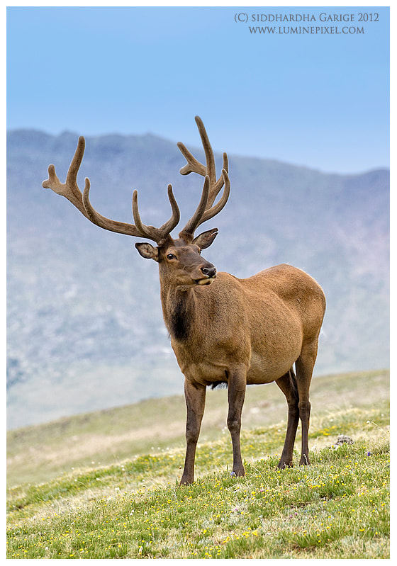 Photograph Bull Elk - RMNP by Siddhardha Garige on 500px