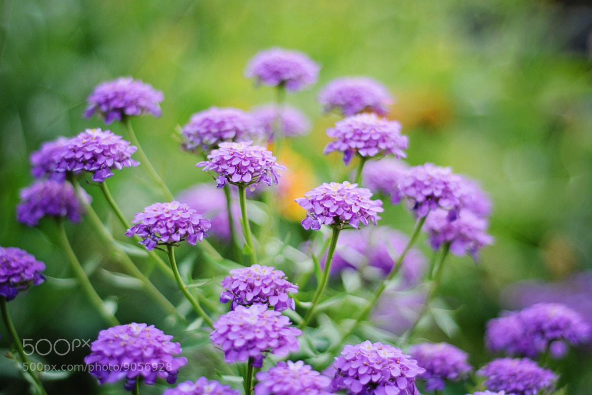 Photograph Purple flowers by Shilpa Shenoy on 500px