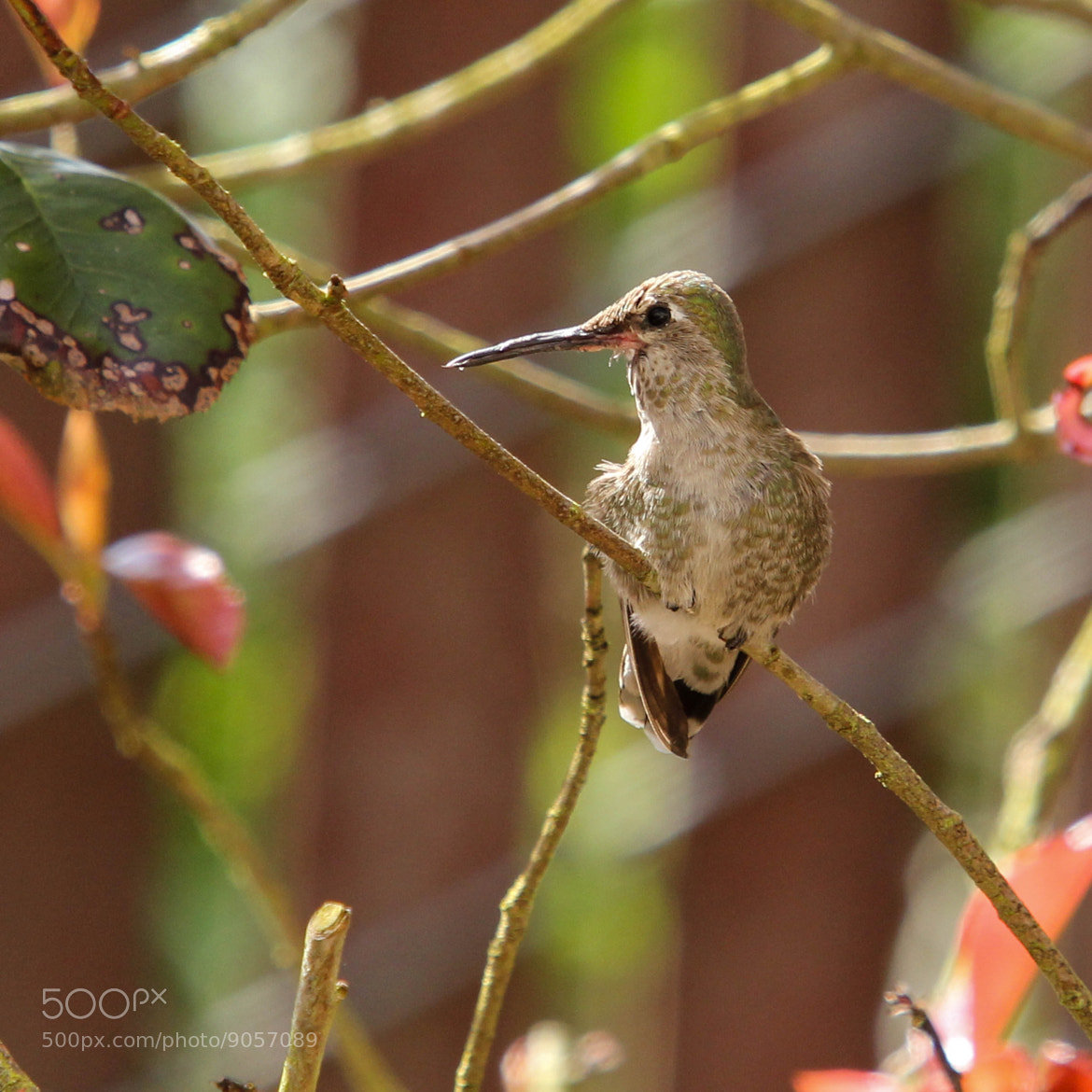 Photograph Humming bird by Vinnie Halpin on 500px
