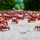 Постер, плакат: Christmas Island Red Crab Migration