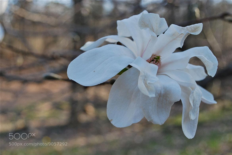 Photograph Magnolia  by Diana Zlamalik on 500px