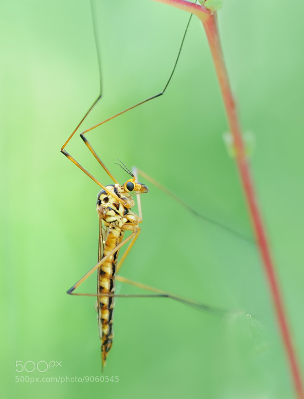 Photograph Crane Fly by Soheil Shahbazi on 500px