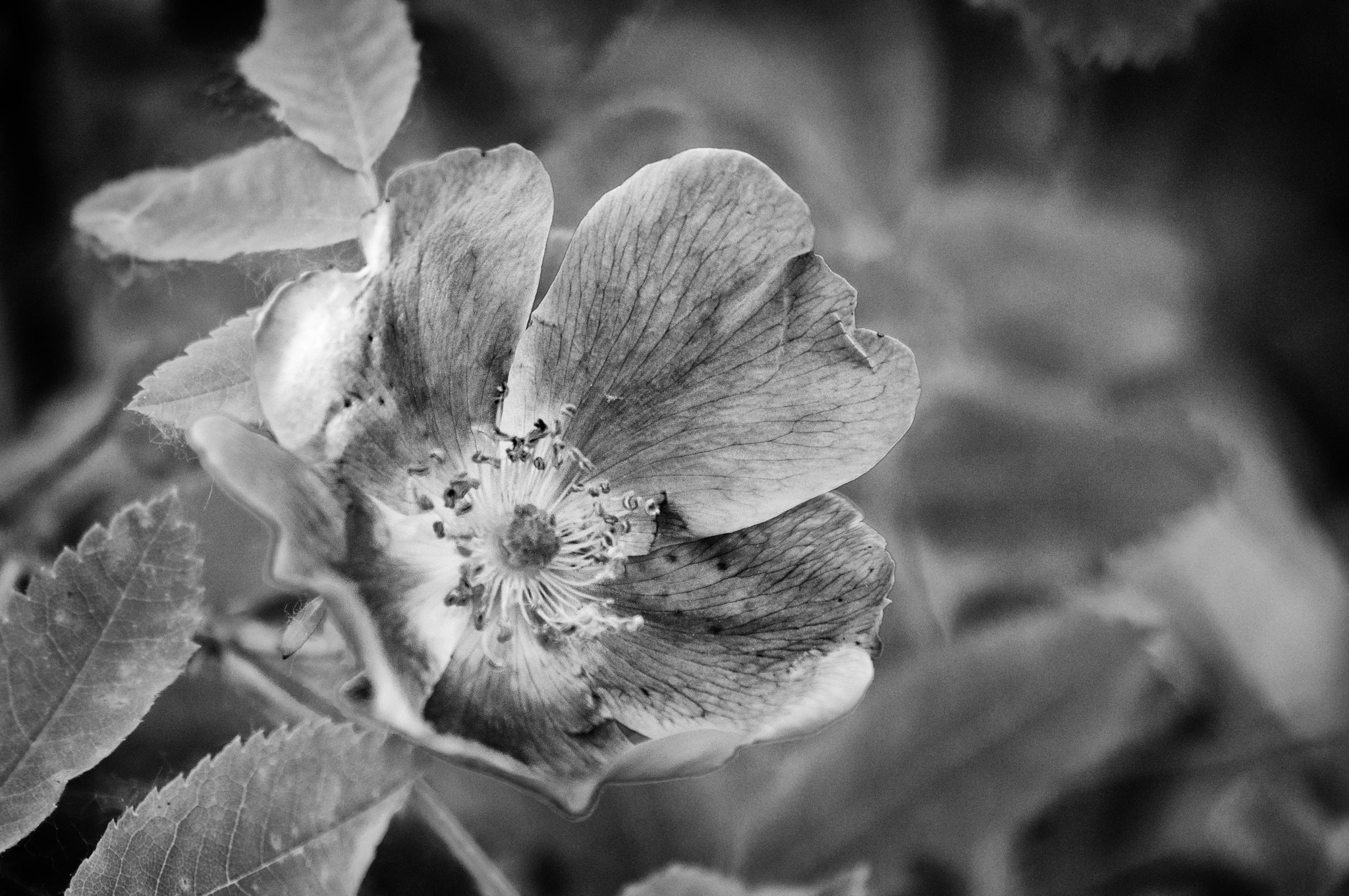 Photograph Wild Rose by Craig Taylor on 500px