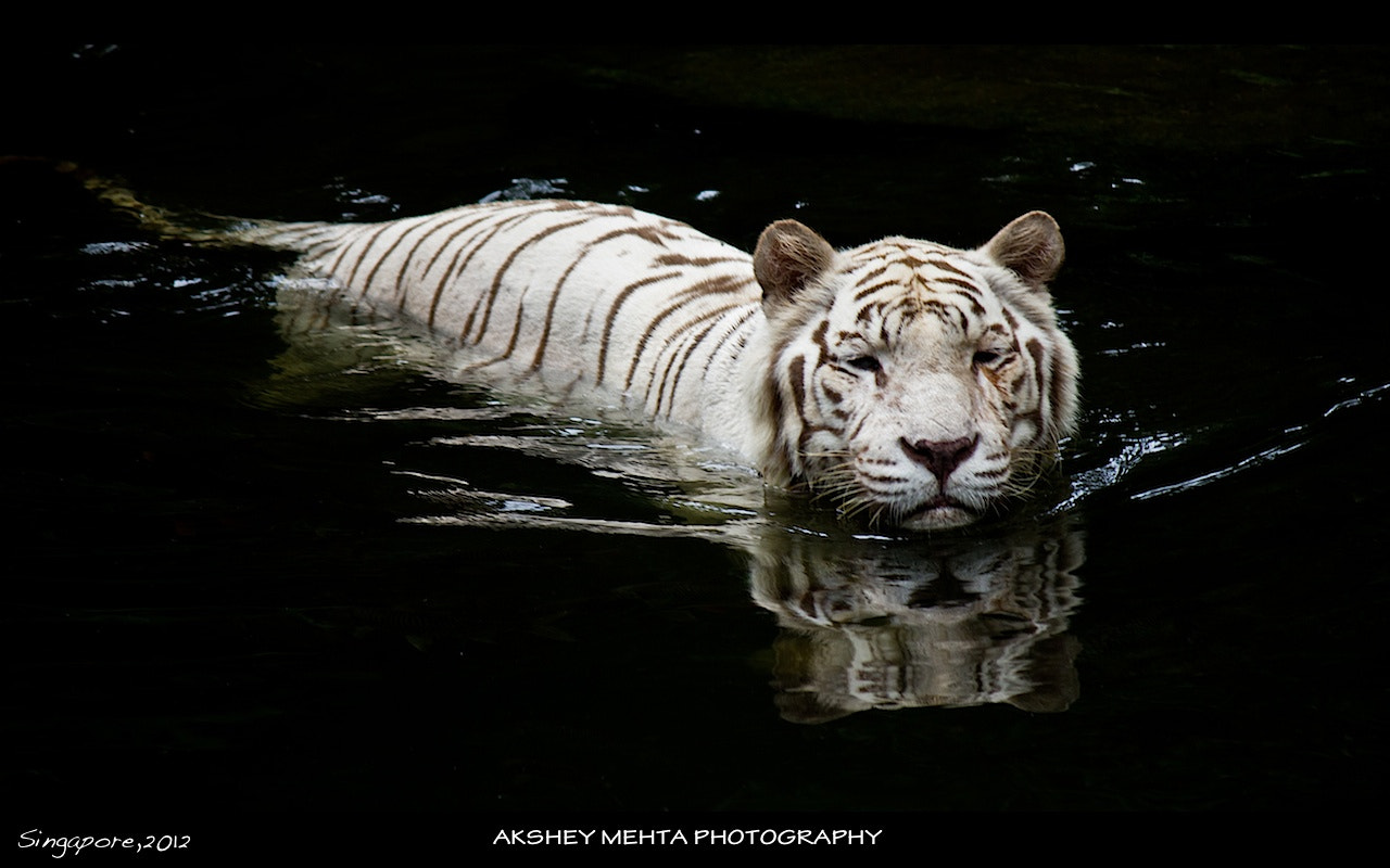 Photograph The White Tiger!!!! by Akshey Mehta on 500px
