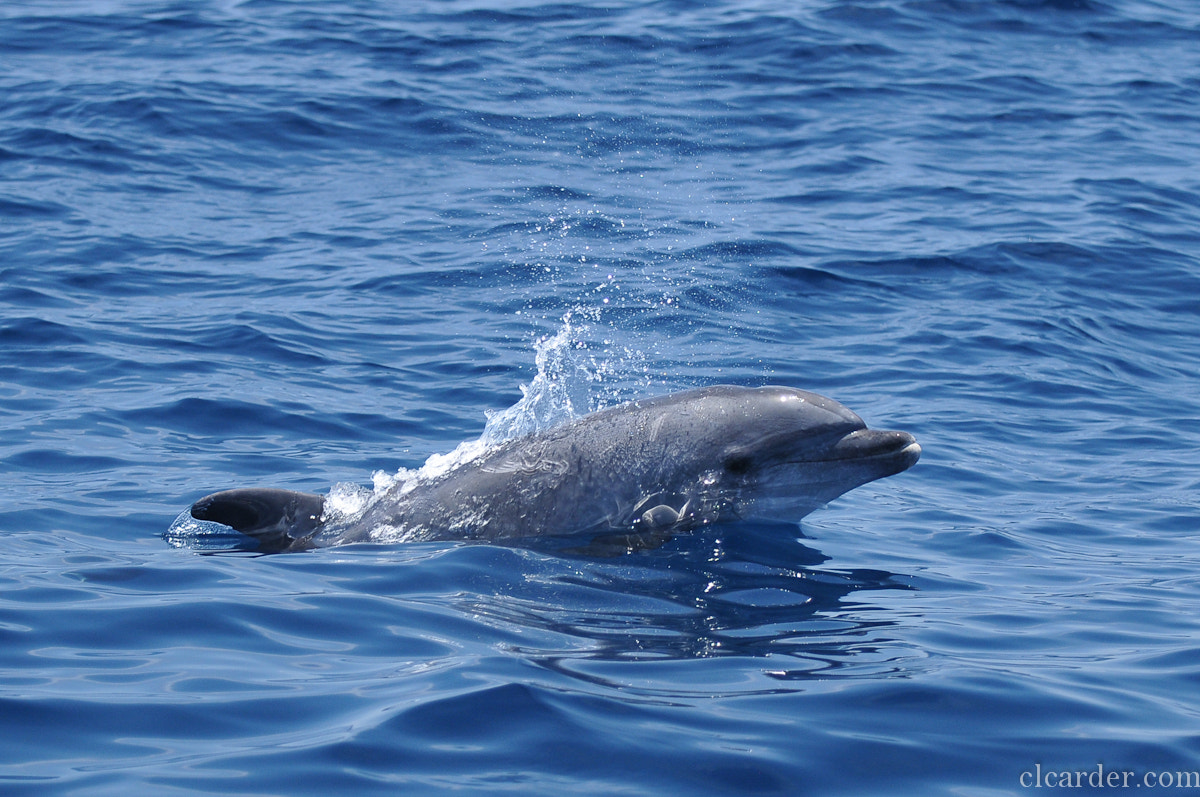 Photograph Pacific Bottlenose dolphin by Catalina Londono on 500px