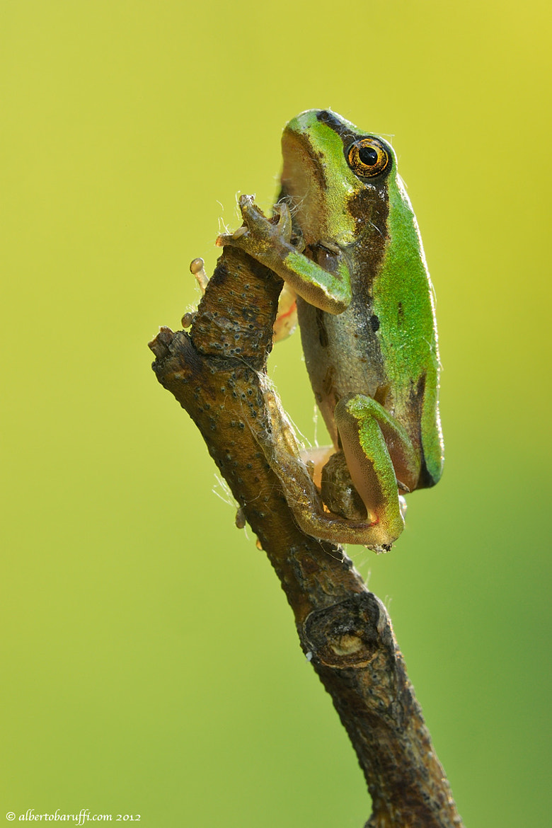 Photograph Climber frog by Alberto Baruffi on 500px