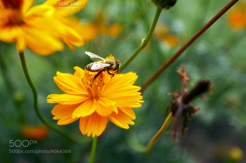 Photograph Bee on a flower.. by Rajat Kohli on 500px