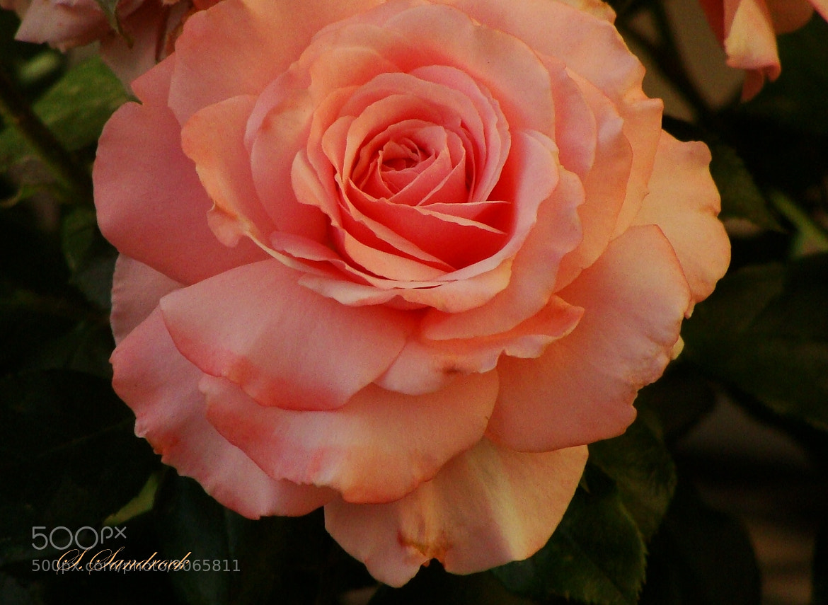 Displaying 19> Images For - Peach Colored Roses Meaning...: galleryhip.com/peach-colored-roses-meaning.html