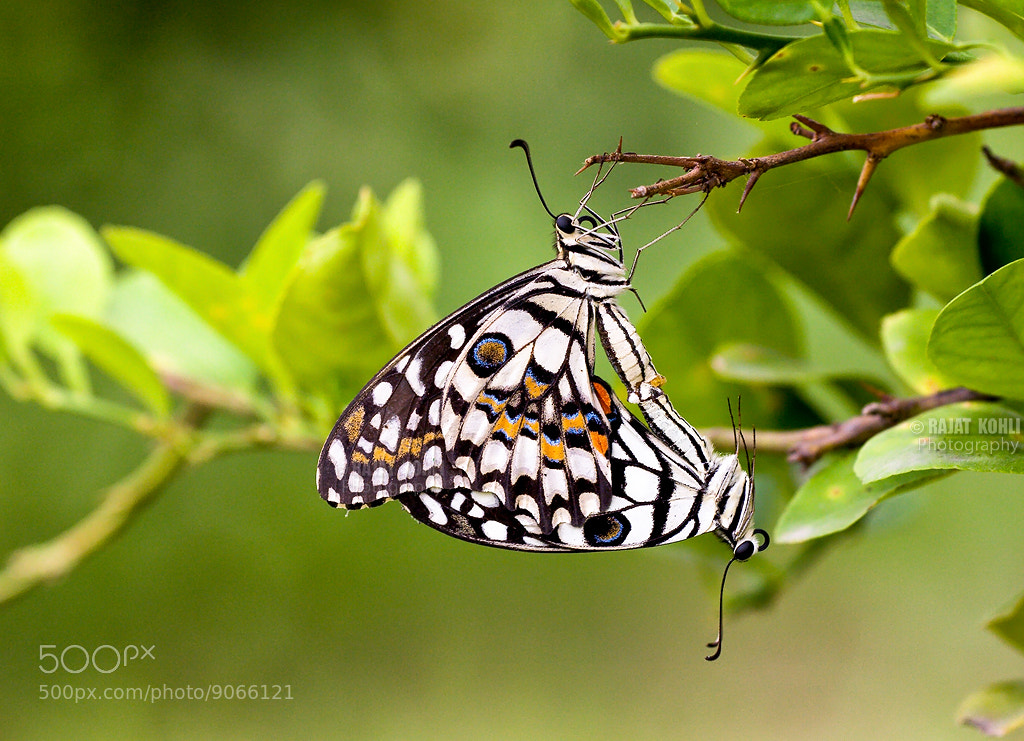 Photograph Butterfiles mating by Rajat Kohli on 500px