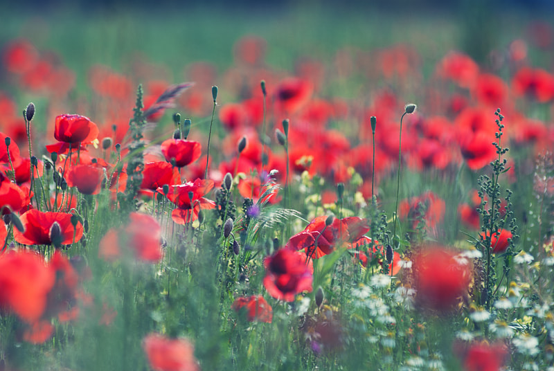 Photograph Poppy Field 06 by Lilou B. on 500px