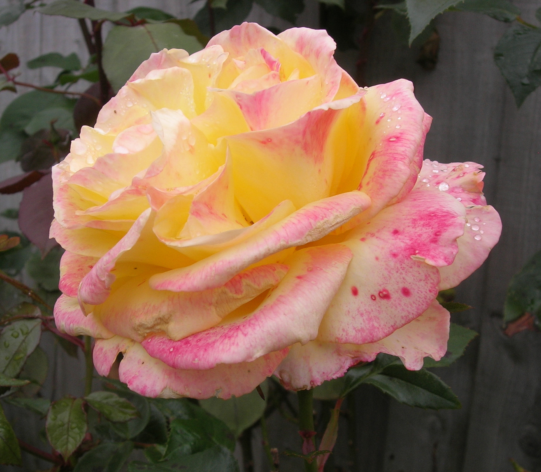 Photograph A Sunday Rose by Linda Foakes on 500px