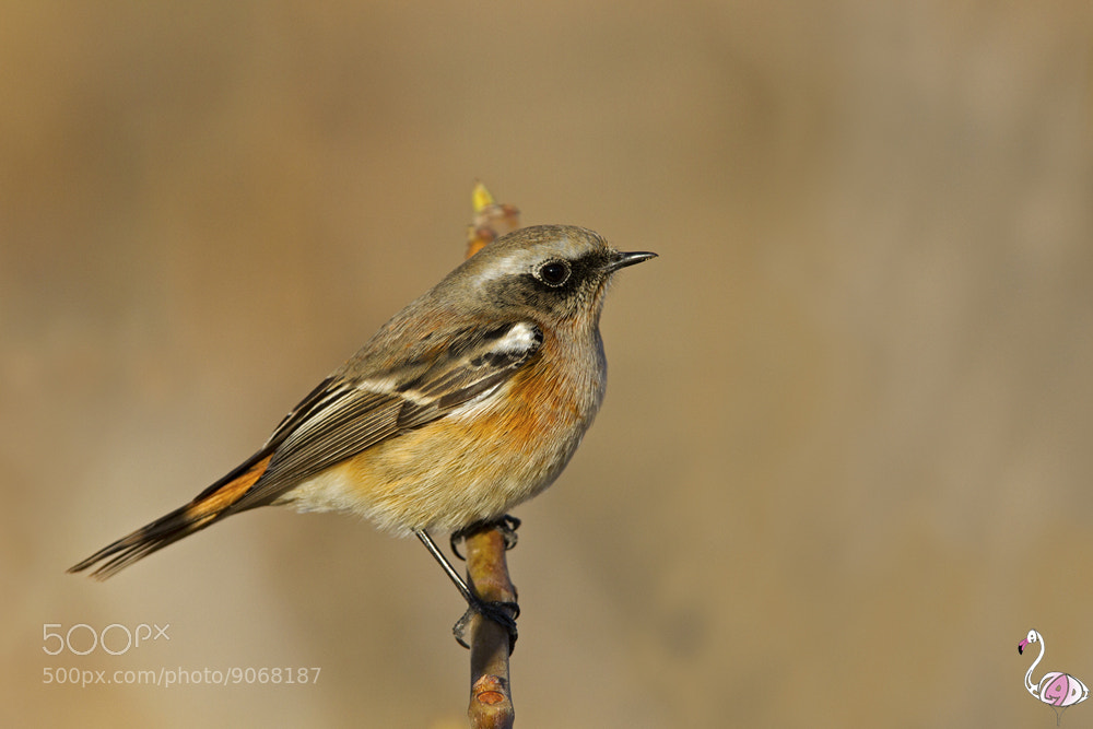 Photograph eversmann's redstart by ali azadi on 500px