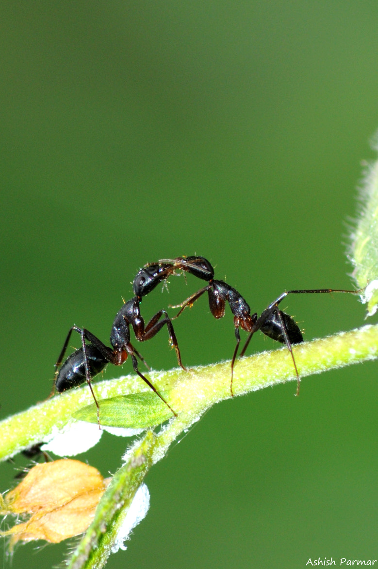 Photograph Ant FIght by Ashish Parmar on 500px