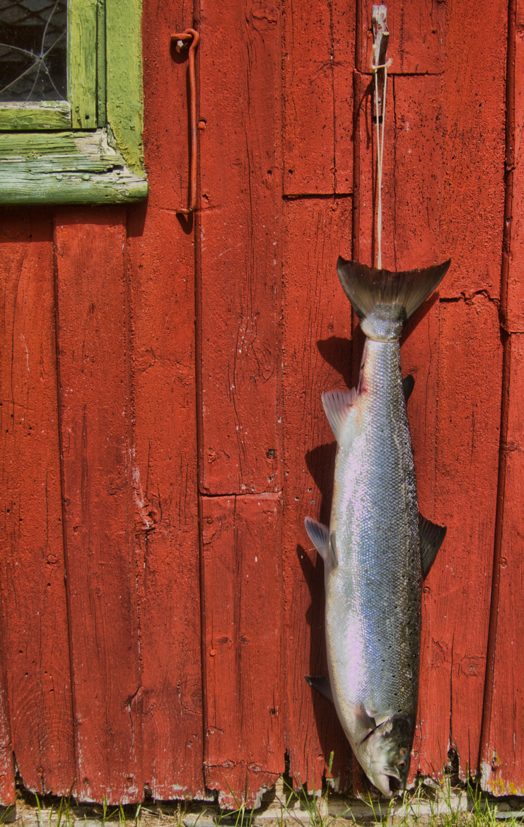 Photograph Norwegian Wild Salmon by Tor-Willy Weberg on 500px
