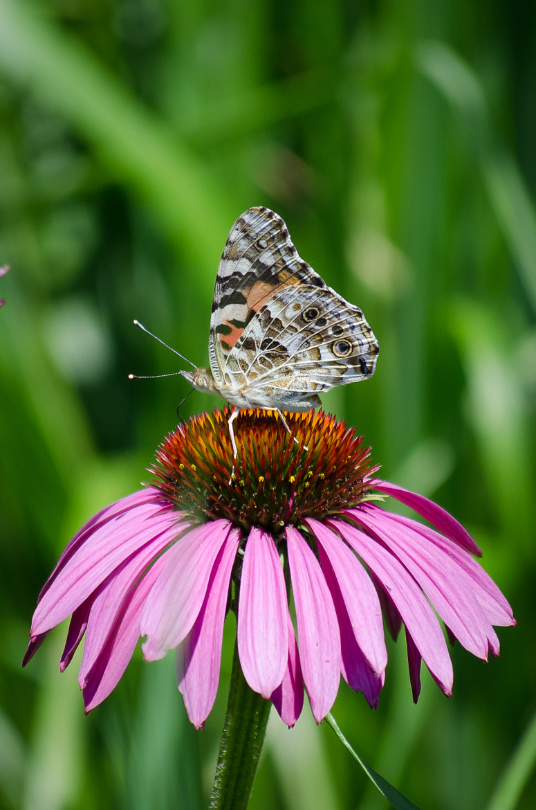 Photograph Butterfly and Coneflower by mag c. on 500px