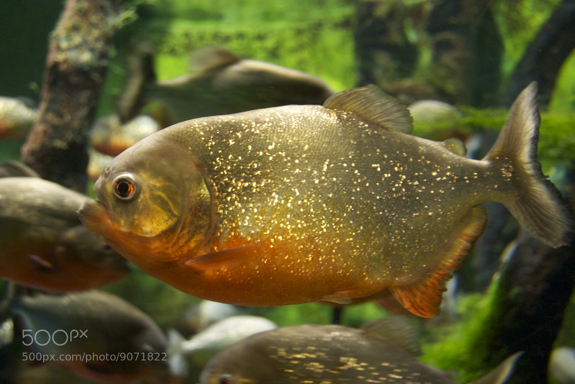 Photograph Piranha by Chris Biron on 500px