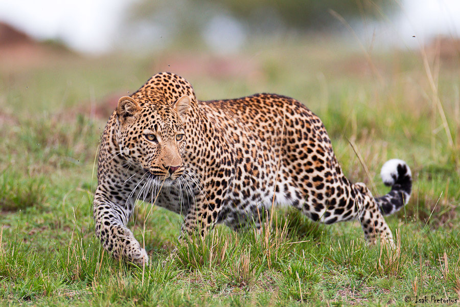 Photograph Stalking leopard by Isak Pretorius on 500px