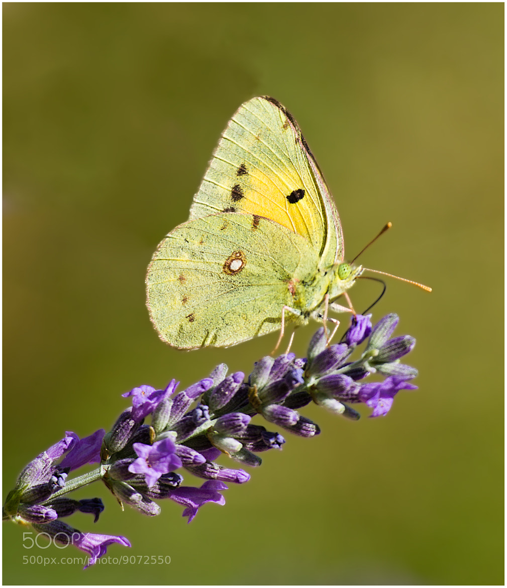 Photograph Colias crocea by Lele Erre on 500px