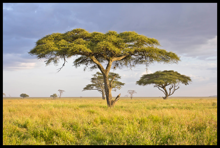 Photograph African Tree by Alina Vorob on 500px