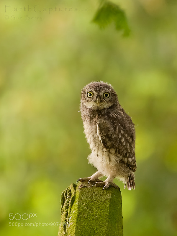 Photograph Little Owl chick by Sue Berry on 500px