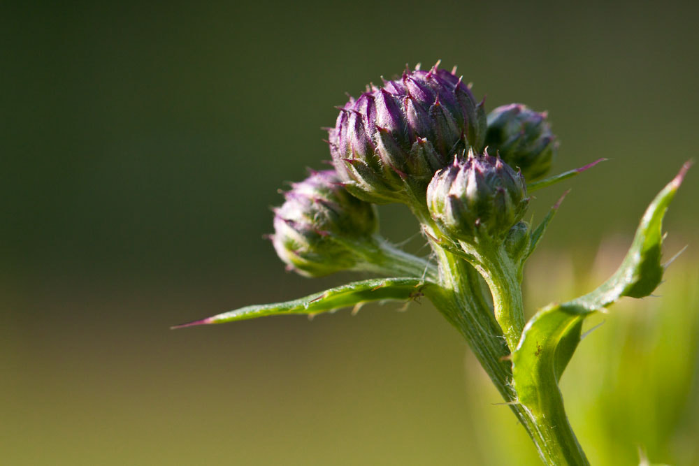 Photograph mini thistle by Marion Fanieng on 500px
