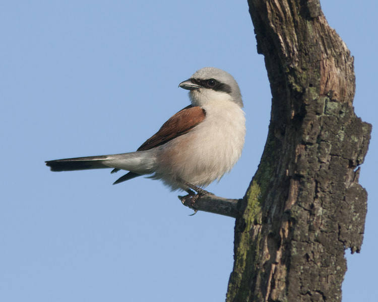 Photograph Red-backed shrike  by Robert Westerhof on 500px