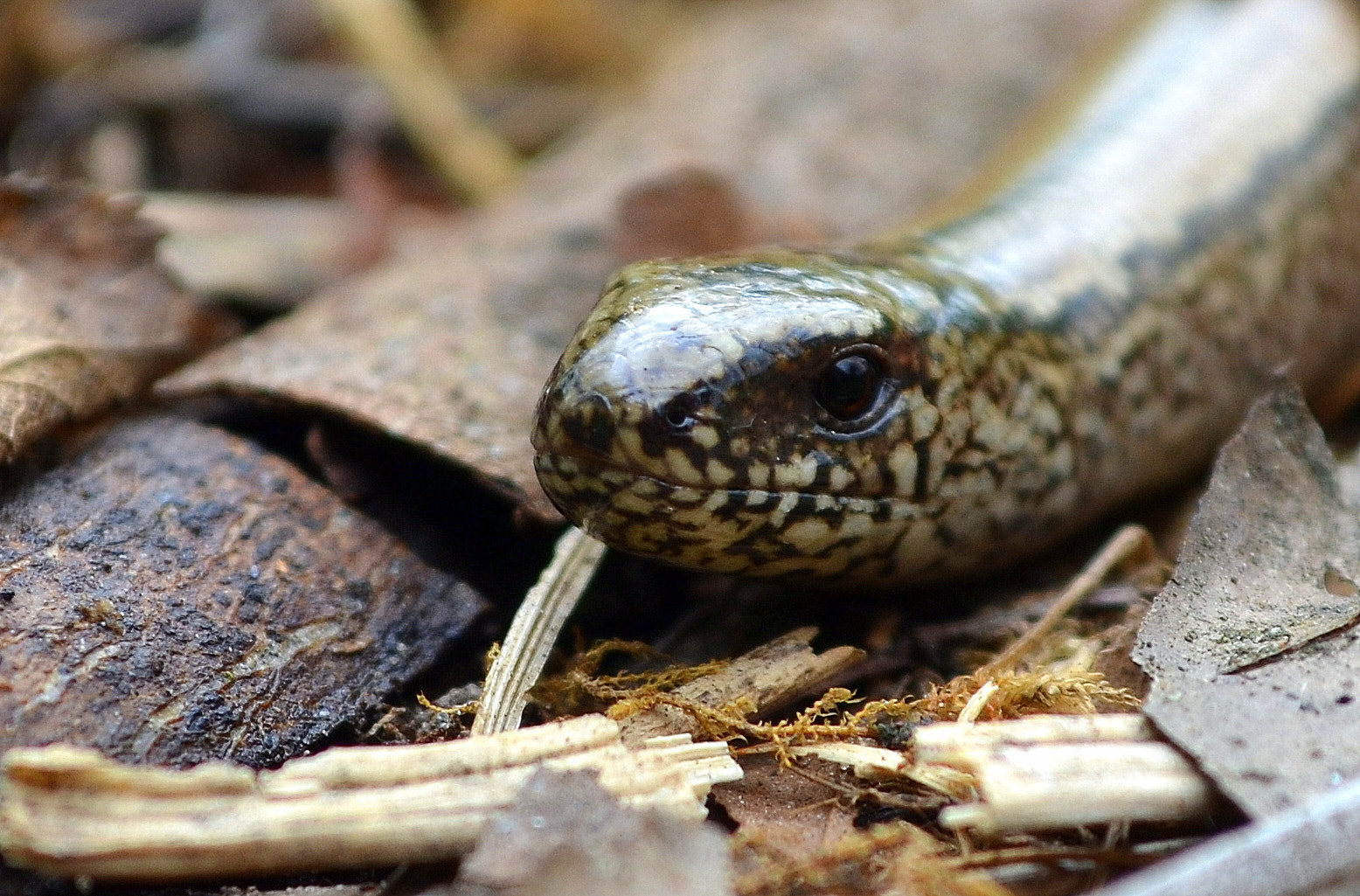 Photograph Slow Worm by Ryan Clark on 500px