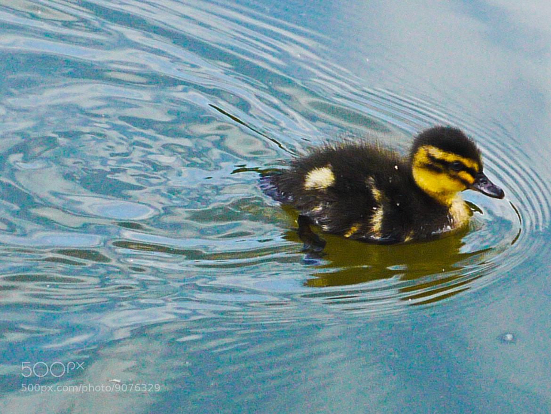 Photograph The Little Duckling by mattias Willis on 500px