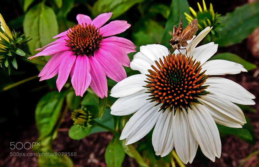 Photograph Coneflower Friend by Jerry Bain on 500px