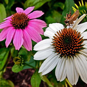 Coneflower Friend by Jerry Bain (jlbphoto)) on 500px.com