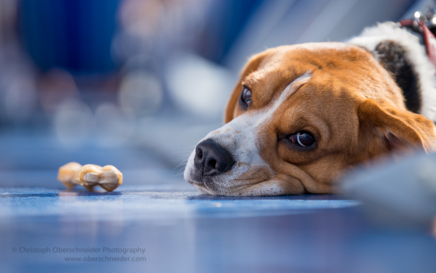 Photograph ...have you seen my chew bone? by Christoph Oberschneider on 500px