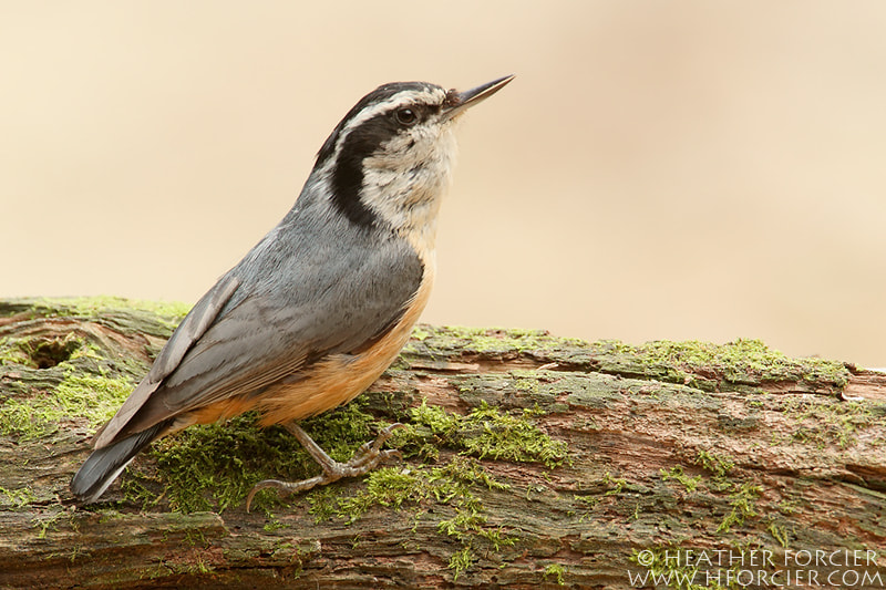 Photograph Calling Red-breasted Nuthatch by Heather Forcier on 500px